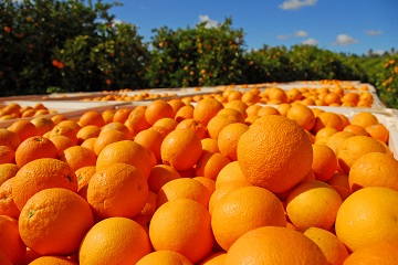 Harvesting Navel oranges in the beautiful Riverland of South Australia